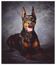 Braveheart Loyalheart Doberman Pinscher Breeder In New York